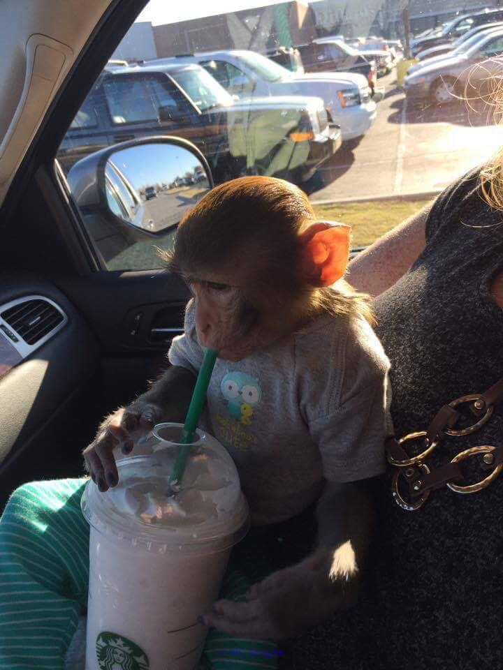 FRIENDLY BABY MONKEY RHESUS MACAQUE FOR ADOPTION